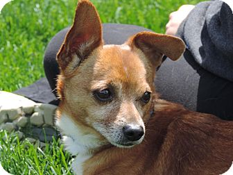 Chihuahua/Dachshund Mix Dog for adoption in Dayton, Ohio - Bodhi - South Range, MI