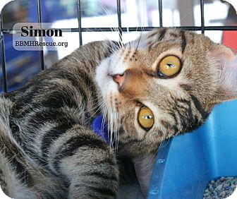 Domestic Shorthair Kitten for adoption in Temecula, California - Simon