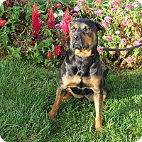 Rottweiler Mix Dog for adoption in Cameron, Missouri - Zelda