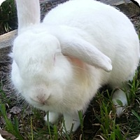 New Zealand Mix for adoption in Riverview, Florida - Bunilla