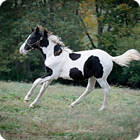 Gaited Mix for adoption in Nicholasville, Kentucky - Patrick's Bullseye