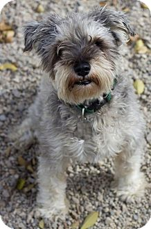 Miniature Schnauzer Dog for adoption in Salt Lake City, Utah ... Miniature Schnauzer Utah