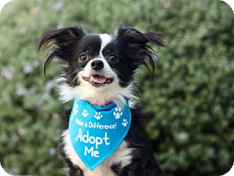 Papillon/Chihuahua Mix Dog for adoption in Pacific Grove, California - Butterfly