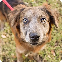 Adopt A Pet :: Bindi - DFW, TX