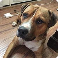 Adopt A Pet :: BUDDY - Chandler, AZ