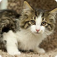 Adopt A Pet :: Laila - Great Falls, MT