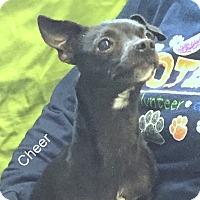 Adopt A Pet :: Cheer - Hibbing, MN