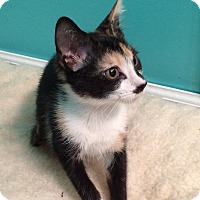 Adopt A Pet :: Torti - Charlotte, NC