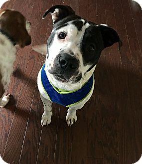 American Pit Bull Terrier Mix Dog for adoption in Acworth, Georgia - Klondike