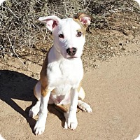 Adopt A Pet :: Amazing LITTLE Arlo - Albuquerque, NM