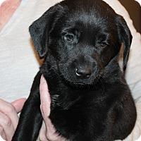 Adopt A Pet :: Callie - Naperville, IL