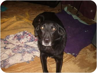 Labrador Retriever/German Shepherd Dog Mix Dog for adoption in North Jackson, Ohio - Waggs