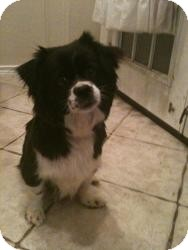 Spaniel (Unknown Type)/Chihuahua Mix Dog for adoption in Justin, Texas - Cher