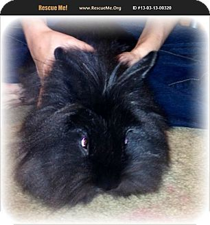 Lionhead Mix for adoption in Lees Summit, Missouri - Midnight