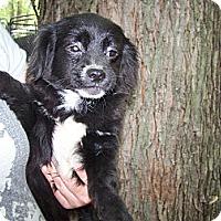 Adopt A Pet :: Domino - Antioch, IL