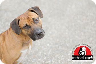 Boxer/Hound (Unknown Type) Mix Dog for adoption in Jupiter, Florida - Chase
