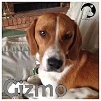 Adopt A Pet :: Gizmo - Novi, MI