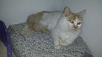 Domestic Longhair Cat for adoption in Iroquois, Illinois - PK