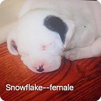 Adopt A Pet :: Snowflake - Daleville, AL