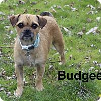 Adopt A Pet :: Budgee - Mount Laurel, NJ