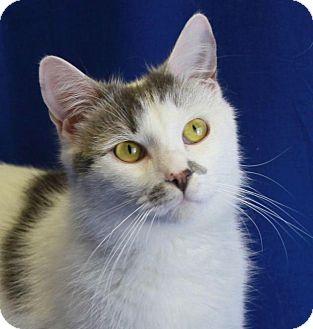 Domestic Shorthair Cat for adoption in Winston-Salem, North Carolina - Archie