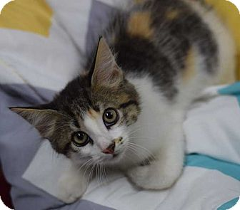 Calico Kitten for adoption in Manhattan, New York - Twinkle