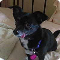 Adopt A Pet :: Ya-Ya - Westminster, CO