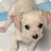 Adopt A Pet :: I'M ADOPTED Bert Lamacki - Oswego, IL