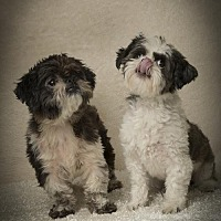 Adopt A Pet :: Gianni Roy & Cher - Davie, FL