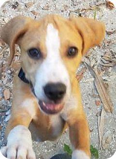 Labrador Retriever/Black Mouth Cur Mix Puppy for adoption in New Smyrna Beach, Florida - Nala