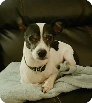 Jack Russell Terrier Dog for adoption in Ypsilanti, Michigan - Gobo