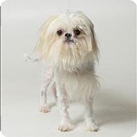 Adopt A Pet :: Peluche - Columbus, OH