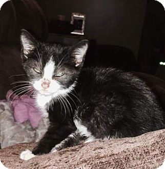 Domestic Shorthair Kitten for adoption in York, Pennsylvania - Laeta