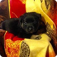 Adopt A Pet :: MOLLYS 7 - 3 - Colton, CA