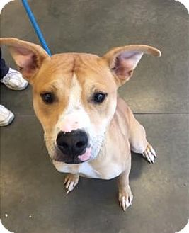 Labrador Retriever Mix Dog for adoption in Plainfield, Connecticut - Buster