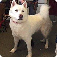 Siberian Husky Dog for adoption in Matawan, New Jersey - Glacier