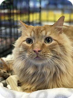 Domestic Mediumhair Cat for adoption in Atlanta, Georgia - Archie