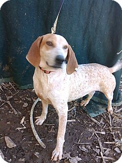 English (Redtick) Coonhound/Hound (Unknown Type) Mix Dog for adoption in Lexington, Massachusetts - Georgia