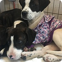 Adopt A Pet :: Sparkle - grants pass, OR