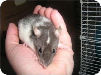 Rat for adoption in Cincinnati, Ohio - Tullie