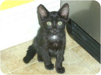 Domestic Shorthair Kitten for adoption in Mobile, Alabama - Cher