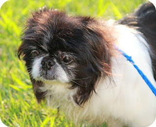 Pekingese Dog for adoption in Richmond, Virginia - Gracious
