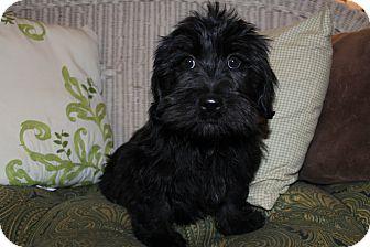 Scottie, Scottish Terrier/Shih Tzu Mix Puppy for adoption in Wytheville, Virginia - Armani