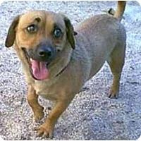 Adopt A Pet :: Susie-Q - dewey, AZ