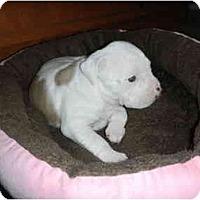 Adopt A Pet :: Piper - Mesa, AZ