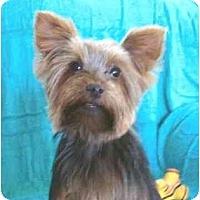 Adopt A Pet :: Abella Rose - Mooy, AL