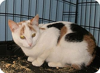 Domestic Shorthair Cat for adoption in Lindenhurst, New York - Candie