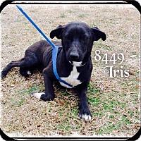Labrador Retriever Mix Dog for adoption in Dillon, South Carolina - Iris