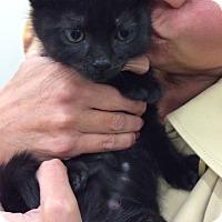 Adopt A Pet :: Midnight - Broomall, PA