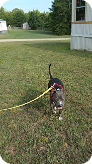 American Staffordshire Terrier Dog for adoption in Inman, South Carolina - Roscoe